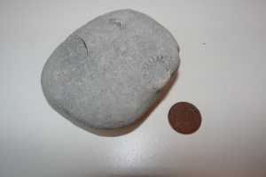 Cn you see the fossil in this one? It's an ammonite - look for the curling shape with lines.