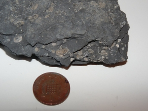 Shale with bivalves and ammonites