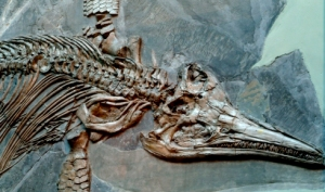 This is an image of an Icthyosaur from the Natural History Museum